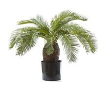 Cycas Palm With Leaves