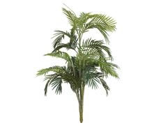 Areca Palm Without Pot