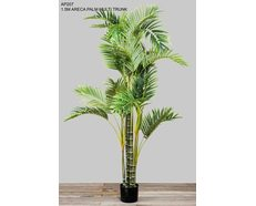Areca Palm Multi Trunk