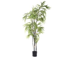 Zig Zag Bamboo With Black Stem