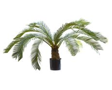Cycas Palm With Fronds