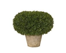 Boxwood Flatball In Pot