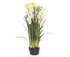 Cymbidium Giant in Paper Pot