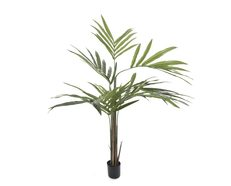 Kentia Palm Potted